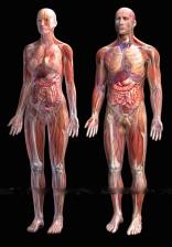 Human-anatomy-zygote